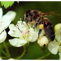 Пчелиная обножка – источник энергии и эликсир молодости
